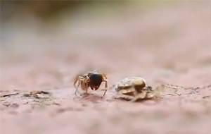 Batalla desigual por la vida: araña vs. hormiga